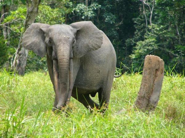 Elephant de forêt