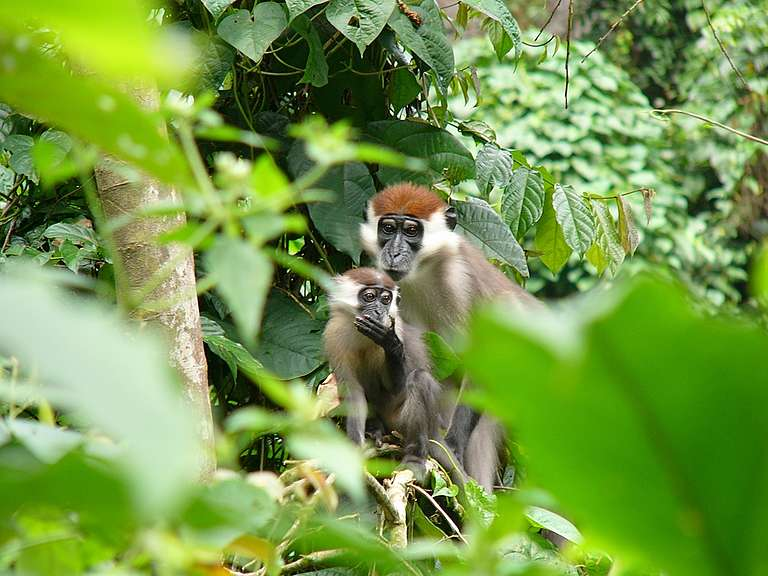 Red Capped Mangabeys in Cameroon. © Filip Verbelen