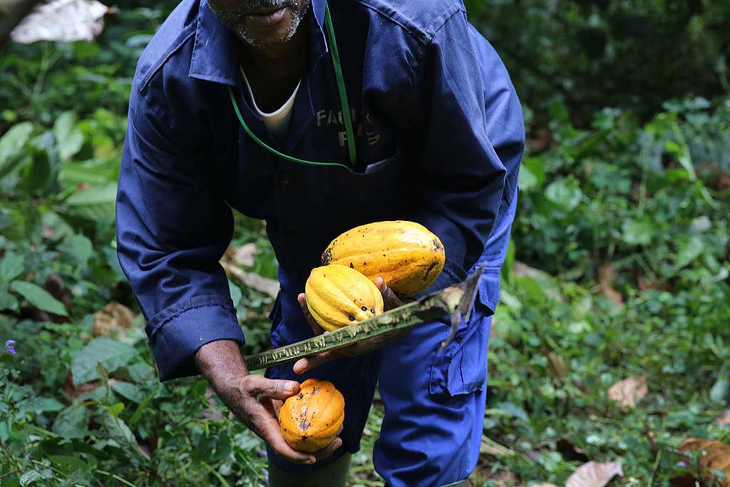 Cocoa Farming in Cameroon. © John Novis