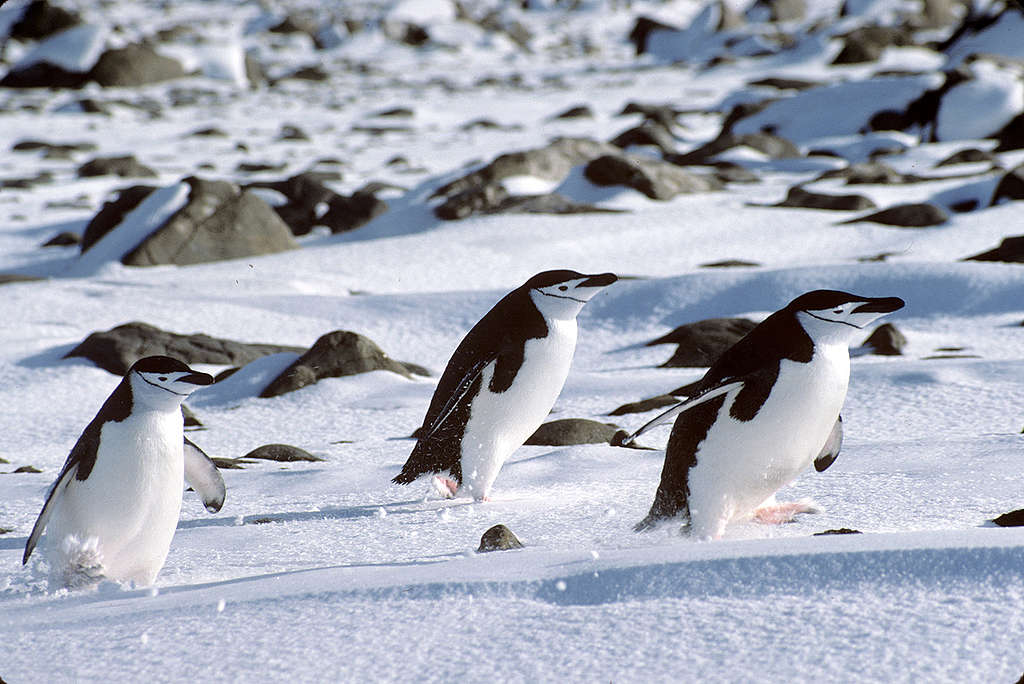 Penguins at the Chilean base Presidente Frei. © Steve Morgan