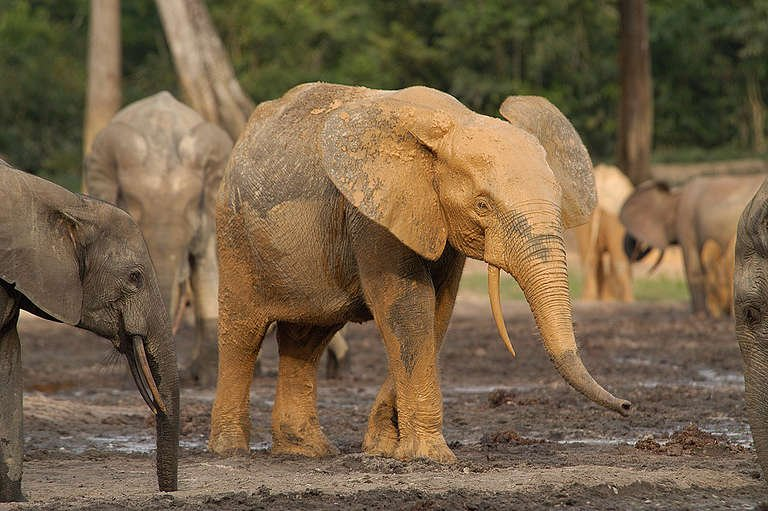 Elephants in Rainforest in Africa. © Markus Mauthe