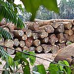 Palmeraie de Camvert : Un projet néfaste pour les forêts Camerounaises et les  populations autochtones