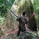 Tree Felling in Ituri Forest . © Jan-Joseph Stok / Greenpeace