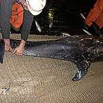 Carcasses de dauphins et tortues sur le littoral sénégalais: un prélude aux horreurs du projet de BP en Afrique de l'Ouest
