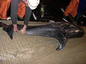 Dead Dolphin as Bycatch On Board Dutch Pelagic Freezer Trawler in Mauritania. © Anonymous