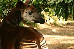 Okapi in Congo. © Kim Gjerstad / Greenpeace