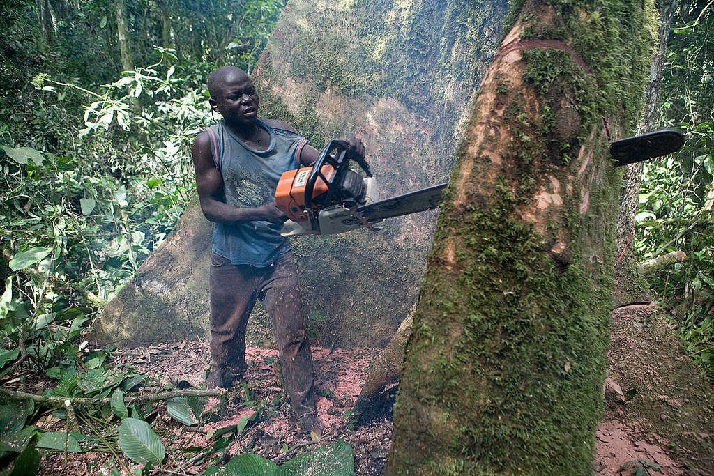 Logging in Ituri Forest. © Jan-Joseph Stok / Greenpeace