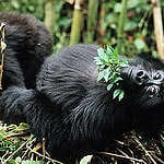 Mountain Gorilla in National Park in Congo. © Christian Kaiser / Greenpeace