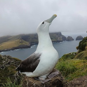 A white-capped albatross (Thalassarche cauta steadi) in Auckland Islands. The white-capped albatross is critically endangered and red listed by the IUCN (International Union for Conservation of Nature).
