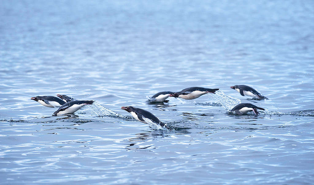Penguins in New Zealand. © Greenpeace / Dave Hansford