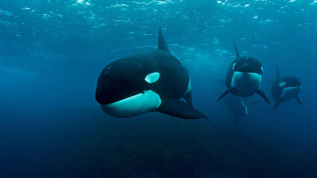 Orca swimming in New Zealand Zoom background image.  © Rasmus Törnqvist / Greenpeace