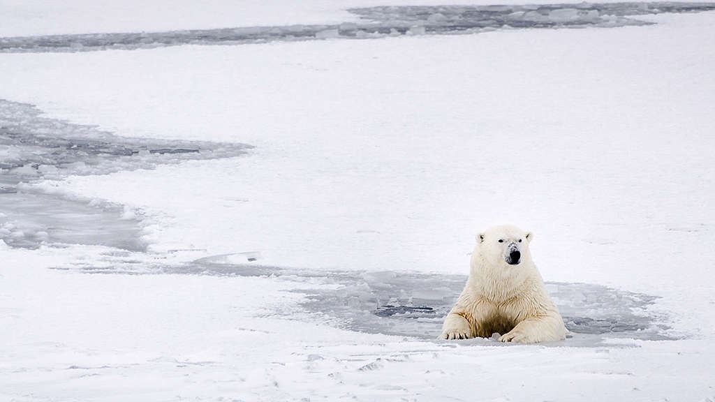 A polar bear rests in the icy water in Svalbard.  A Virtual Reality video team joined Greenpeace on a trip to Svalbard to document the rapidly changing Arctic. Using a range of Virtual Reality video cameras to capture the stunning beauty of the last remnants of pristine wilderness, this immersive new technology allows us to bring people to the high Arctic, to witness for themselves the majestic landscapes and wildlife affected by humanities ruthless quest for resources.  © Rasmus Törnqvist / Greenpeace