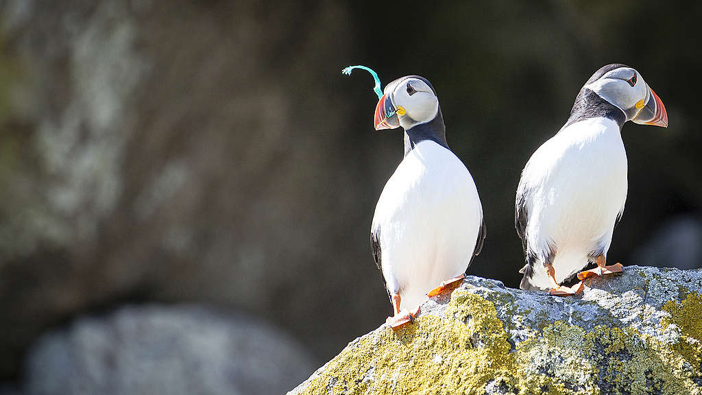 Puffins - A Greenpeace expedition around Scottish coastlines has found plastic in the feeding grounds of basking sharks, in the habitats of puffins  © Will Rose / Greenpeace