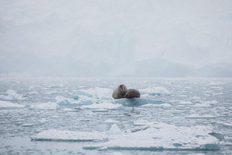 Walruses, glacier, Svalbard, Arctic, Arctic icea, Dahlbreen glacier