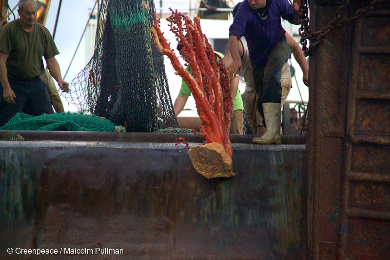 A giant piece of paragorgia coral tossed over the side of an NZ bottom trawler