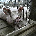La instalación de 3 granjas industriales de cerdos en Chaco generarán más desmonte