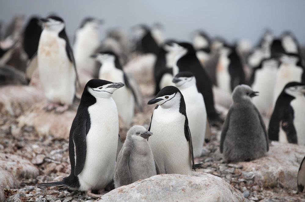 Pinguïns in Antarctica lijden onder de klimaatverandering, laten we hen helpen!