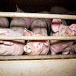 """Epidémie de Corona chez Westvlees : """"Notre production de viande est malade du système"""""""