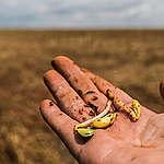 Soya beans ready for plantation. Agriculture in the Amazon region has soybeans as its major star. Brazil is currently the second-largest producer of the grain. The last harvest (2014/2015) yielded 95.070 million tons of the product, according to Brazil's National Crop Agency (CONAB). A agricultura na região amazônica tem como estrela principal a Soja. O Brasil é atualmente o segundo maior produtor mundial do grão. A última safra (2014/2015) rendeu 95,070 milhões de toneladas do produto, de acordo com a CONAB.