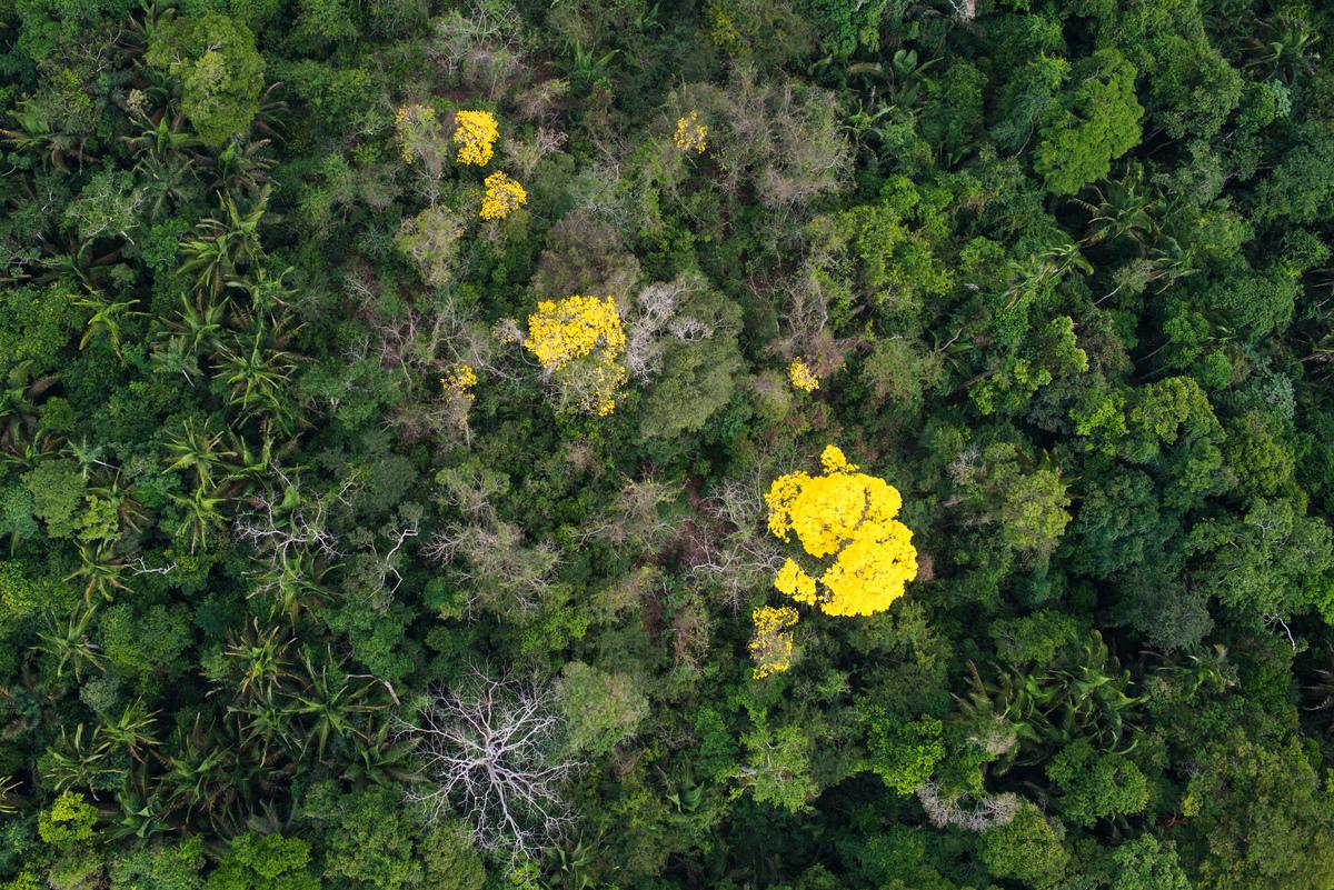Foto aérea mostrando o florescimento do Ipê num pedaço da floresta amazônica no Pará.