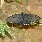 A Parides burchellanus é uma espécie de borboleta endêmica do Cerrado e criticamente ameaçada de extinção. Além da região de Brumadinho, só existe em outros dois lugares no Brasil