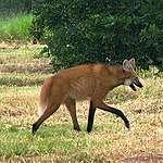 Lobo-guará (Chrysocyon brachyurus), mamífero do Cerrado ameaçado de extinção