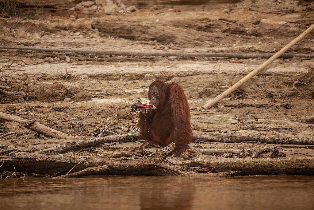 Orangutan Threatened by Haze in Central Kalimantan. © Jurnasyanto Sukarno / Greenpeace