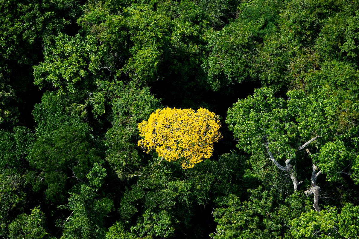 Ipê Tree in Para State. © Daniel Beltrá / Greenpeace