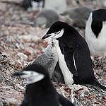 Os pinguins não estão felizes com o novo clima da Antártida