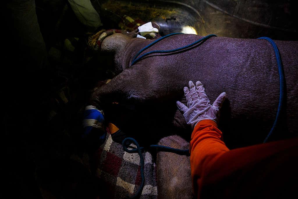Anta recebe atendimento de veterinários voluntários, Mato Grosso, setembro de 2020