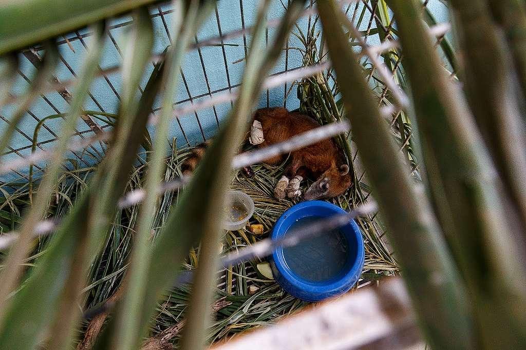 Quati resgatado com as patas queimadas recebe tratamento no Posto de Atendimento Emergencial a Animais Silvestres do Pantanal (PAEAS Pantanal)