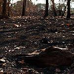 Pecuaristas com propriedades queimadas no Pantanal têm relação com mercado global da carne