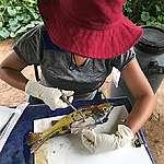 Equipe de pesquisa fazendo coleta de amostra de tecido muscular de peixe, aldeia Sawré Muybu, Pará, 2019 © Paulo Basta / Fiocruz