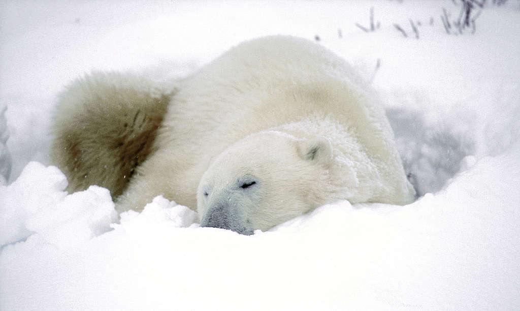 Polar Bears Wait for Winter Migration. © Robert Visser / Greenpeace