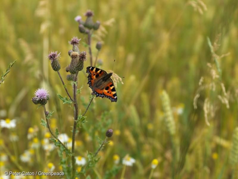 Butterfies enjoy flowers in an organic wheat field near Valance , France