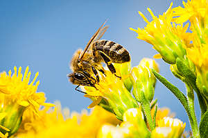 Bees on Blossoms in Germany. © Axel Kirchhof / Greenpeace
