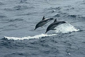 Common dolphins, Southern Ocean. © Greenpeace / Roger Grace