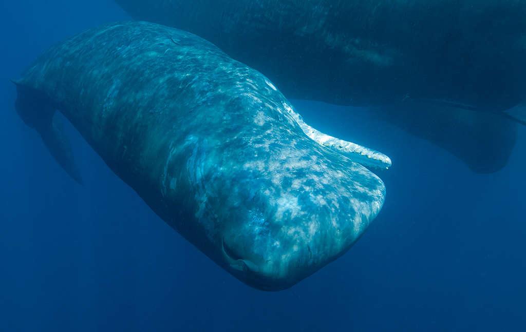 Sperm Whales in Sri Lanka. © Paul Hilton / Greenpeace