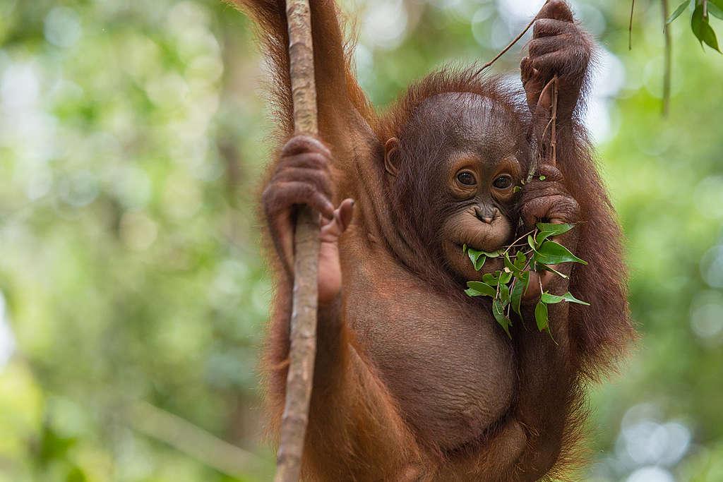 Orangutan at BOS Nyaru Menteng Orangutan Rescue Center in Indonesia. © Bjorn Vaugn / BOSF / Greenpeace