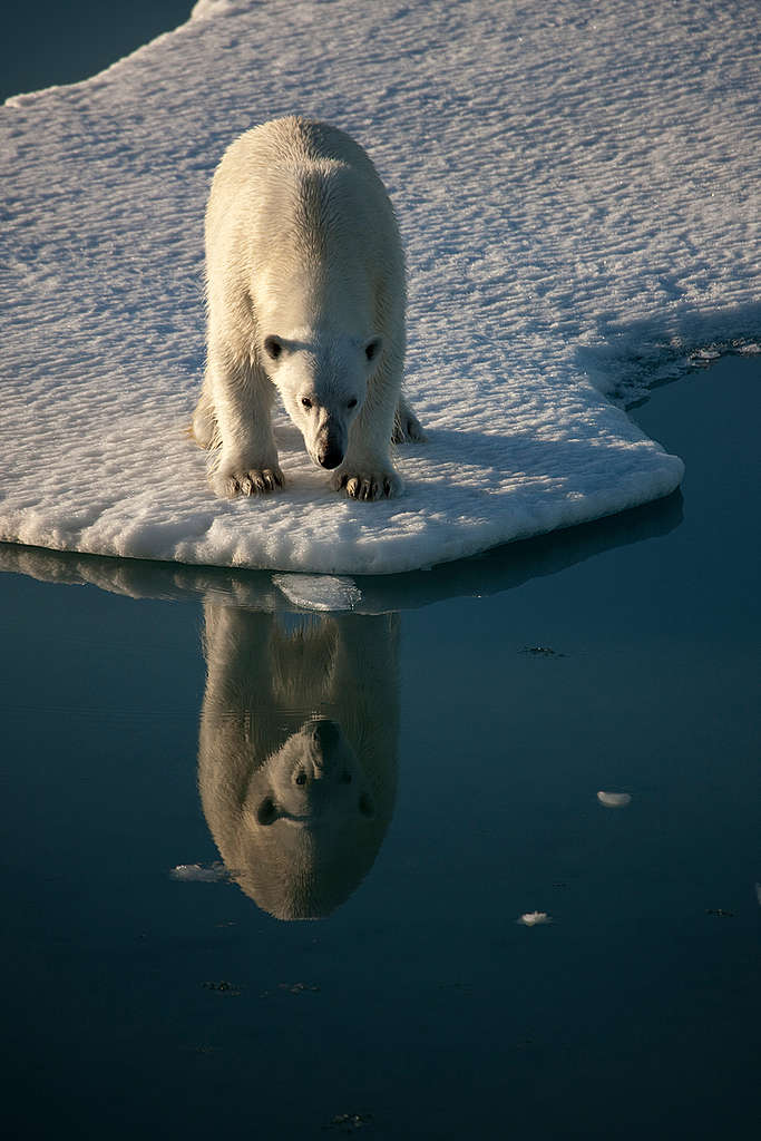 Polar Bear in Greenland. © Nick Cobbing / Greenpeace