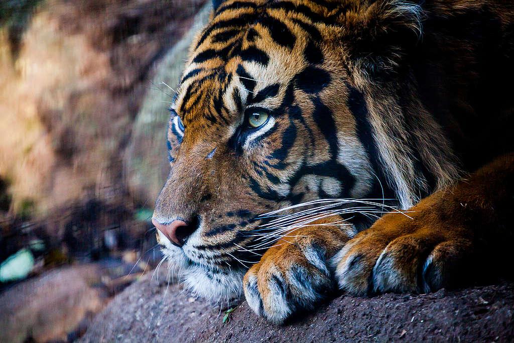 Sumatran Tiger at Melbourne Zoo. © Greenpeace / Tom  Jefferson