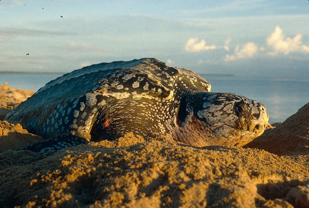 Female Leatherback Turtle in French Guiana. © Greenpeace / Jacques Fretey