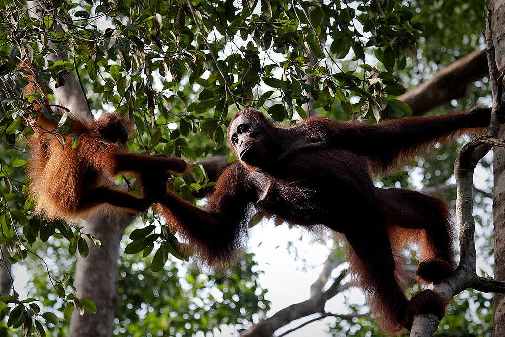 Orangutan at Tanjung Puting National Park. © Ulet  Ifansasti / Greenpeace
