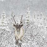 Beaucoup d'activités déclarées… mais quel impact pour le caribou?