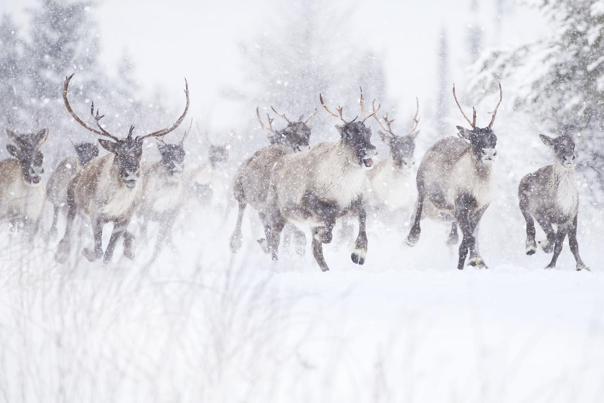 Woodland Caribou in Canada. © Jean-Simon Bégin