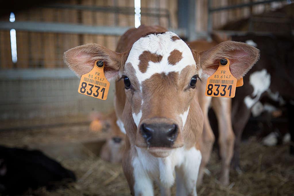 Calves in an Ecological Farm in France. © Elsa Palito / Greenpeace