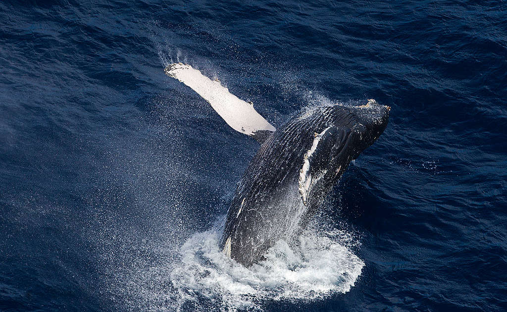 Humpback Whale in the Indian Ocean. © Paul Hilton / Greenpeace