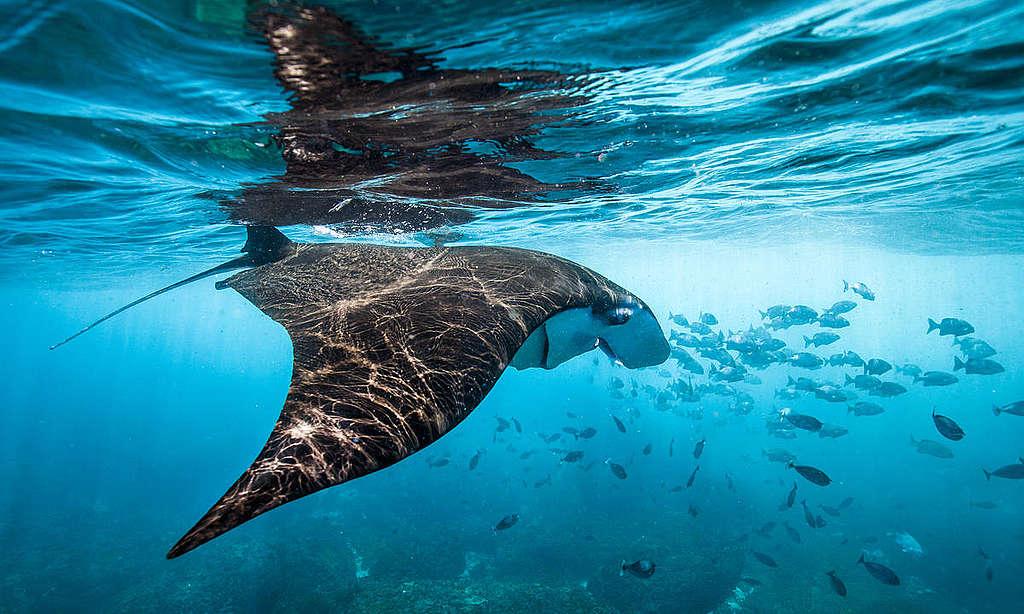 Manta Ray off Nusa Penida Island. © Paul Hilton / Greenpeace