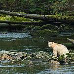 Spirit Bear in Great Bear Rainforest. © Andrew Wright / www.cold-coast.com