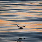 Bird in Baffin Bay. © Greenpeace